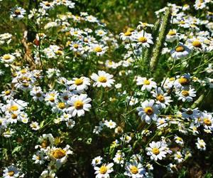 beautiful, daisy, and field image