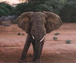animal, elephant, and africa image