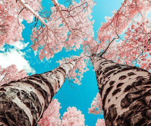 cherry blossoms, pink, and sky image