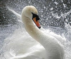 beautiful, cisne, and lovely image