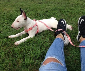 bull terrier, dog, and puppies image