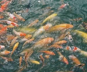 analog, carp, and fish image