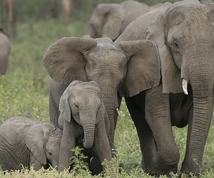 beautiful, elephants, and family image