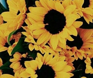 wallpaper, sunflower, and background image