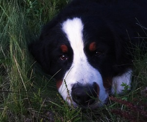 puppy, animal, and bernese mountain dog image