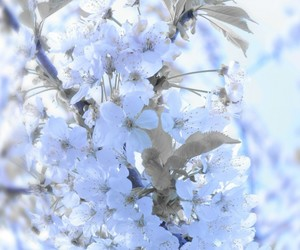 blossoms, blue, and flowers image