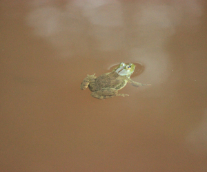 frog, green, and pond image