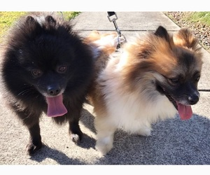 cleolynxthepoms image