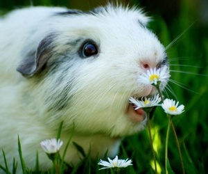 cute, guinea pig, and animal image