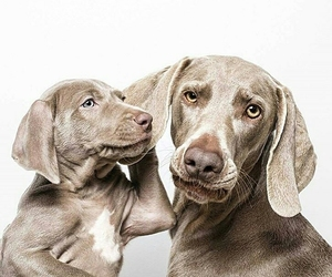 beautiful, dogs, and weimaraner image