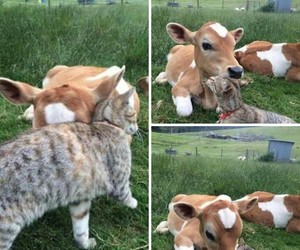 cow, cute, and cat image