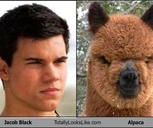 alpaca, funny pictures, and jacob black image