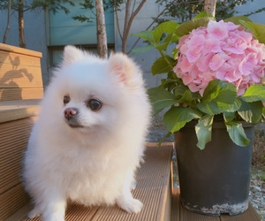 pomeranian, puppy, and ming image