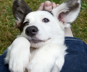 animals, corgi, and dogs image