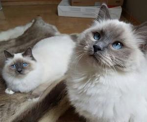 cats, pets, and himalayan image