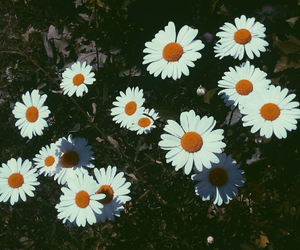 flowers, chamomile, and nature image