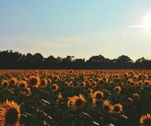 sunflowers, flowers, and nature image