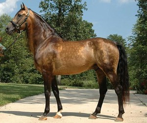 horse, horses, and morgan horse image