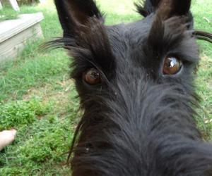 scottish terrier image