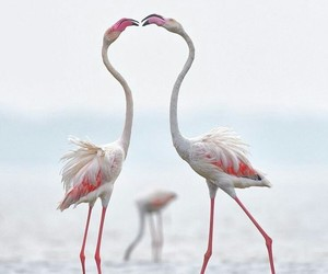 flamingos image