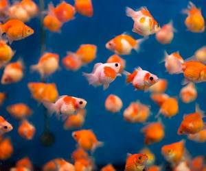 colorful, fishes, and goldfish image