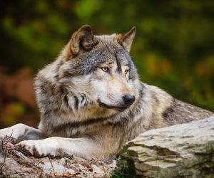 grey wolf, rest, and cute image