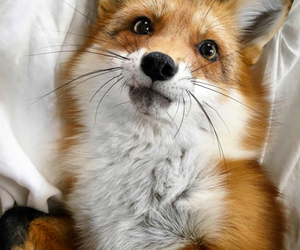 animals, fox, and brown image