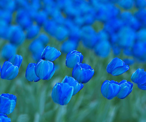 flowers, tulips, and blue image