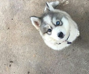 dog, eyes, and husky image