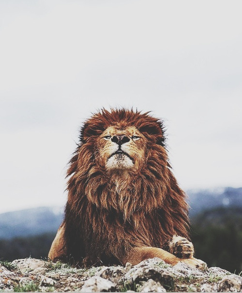 lion, animal, and king image