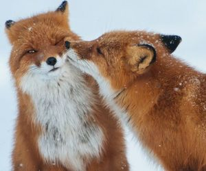 fox, cute, and red image