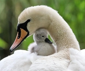 beautiful, cygnet, and swans image