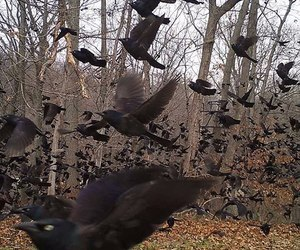 autumn, ravens, and fall image