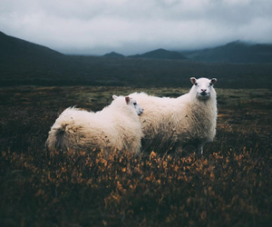animals, nature, and sheep image