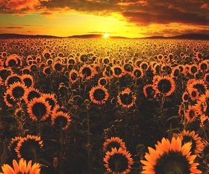 beauty, scenery, and sun flower image
