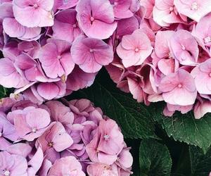 beautiful, hydrangeas, and precious image