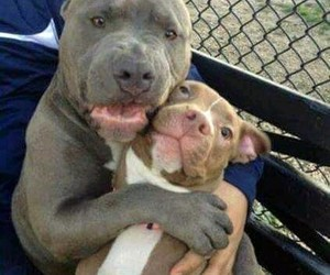 dogs, adoptdontshop, and pitbull image