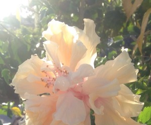 flower, flowers, and hibiscus image