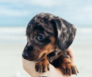 dogs, puppies, and mini dachshund image
