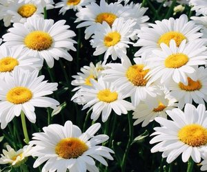 daises, flower, and lovely image