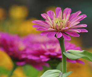 bokeh, pink, and excellentsflowers image