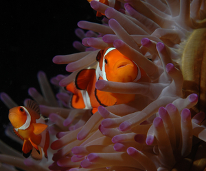 swim, clown fish, and animals image