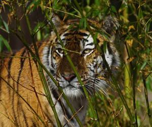 big cat, Nuremberg, and predator image