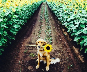 dog, sunflower, and cute image