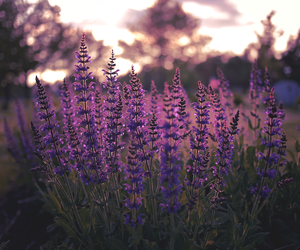 calm, lavender, and flowers image