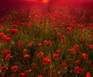 flowers, sunset, and red image