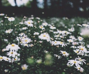 chamomile and nature image