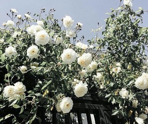 rose, white, and romantic image