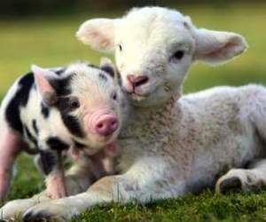 animal, cute, and pig image