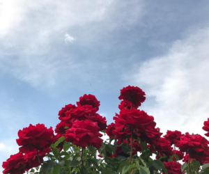 rose, aesthetic, and blue sky image